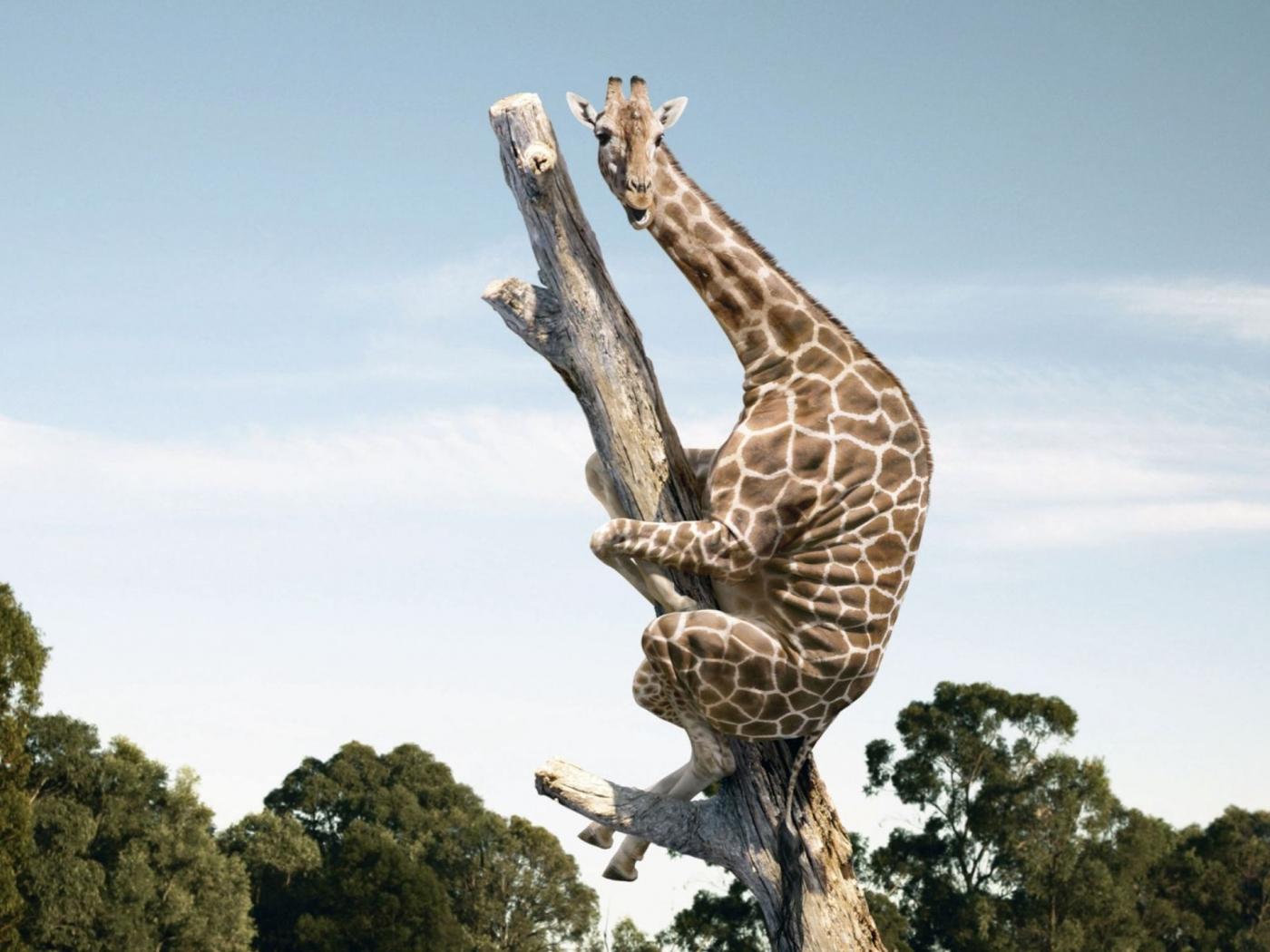 36242 Bildschirmschoner und Hintergrundbilder Humor auf Ihrem Telefon. Laden Sie Humor, Giraffen, Tiere Bilder kostenlos herunter