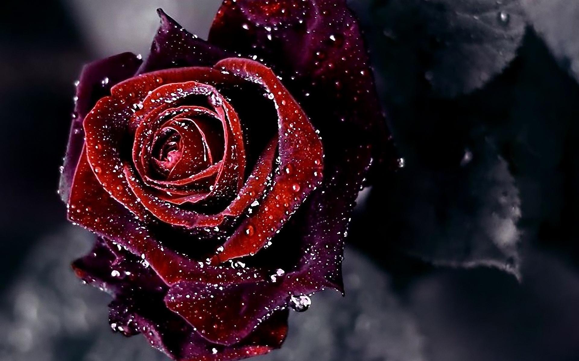 36212 Hintergrundbild herunterladen Blumen, Pflanzen, Roses - Bildschirmschoner und Bilder kostenlos