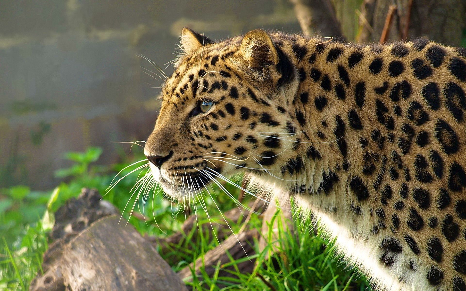 102756 download wallpaper Animals, Leopard, Big Cat, Spotted, Spotty, Profile, Hunting, Hunt screensavers and pictures for free