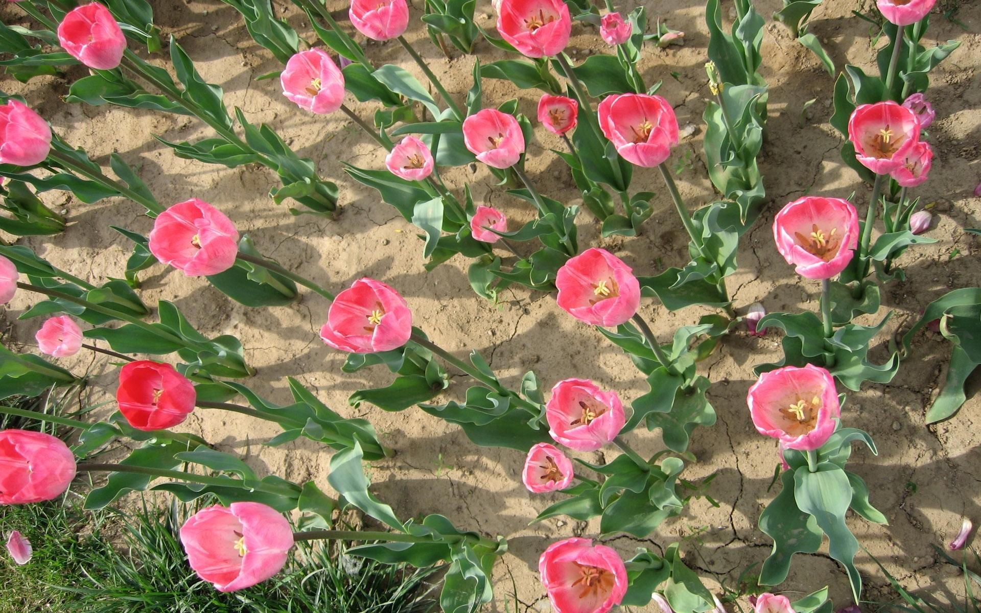 25894 скачать обои Растения, Цветы, Тюльпаны - заставки и картинки бесплатно