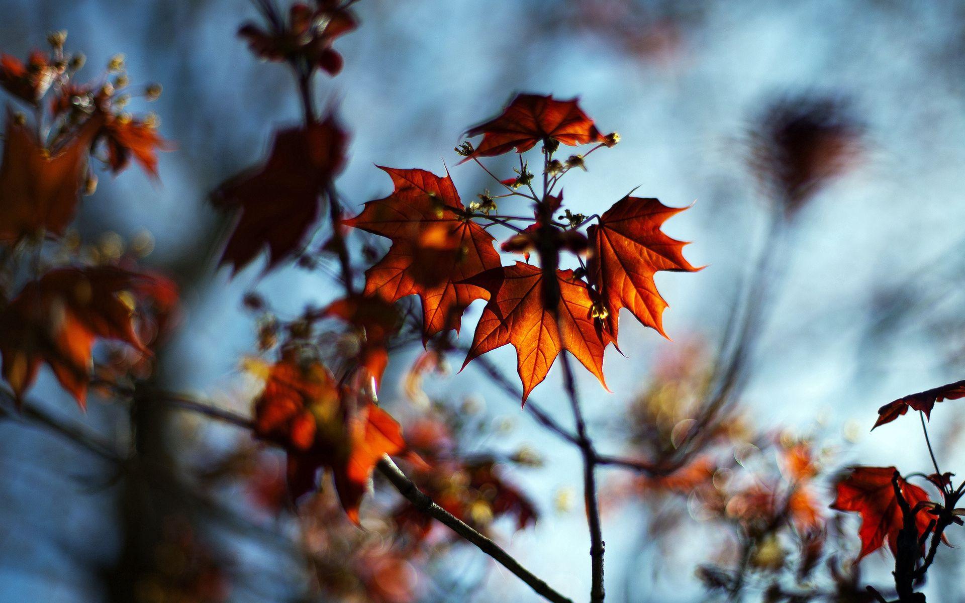 103464 Hintergrundbild herunterladen Natur, Herbst, Blätter, Makro, Geäst, Zweig, Bokeh, Boquet, Ahorn - Bildschirmschoner und Bilder kostenlos