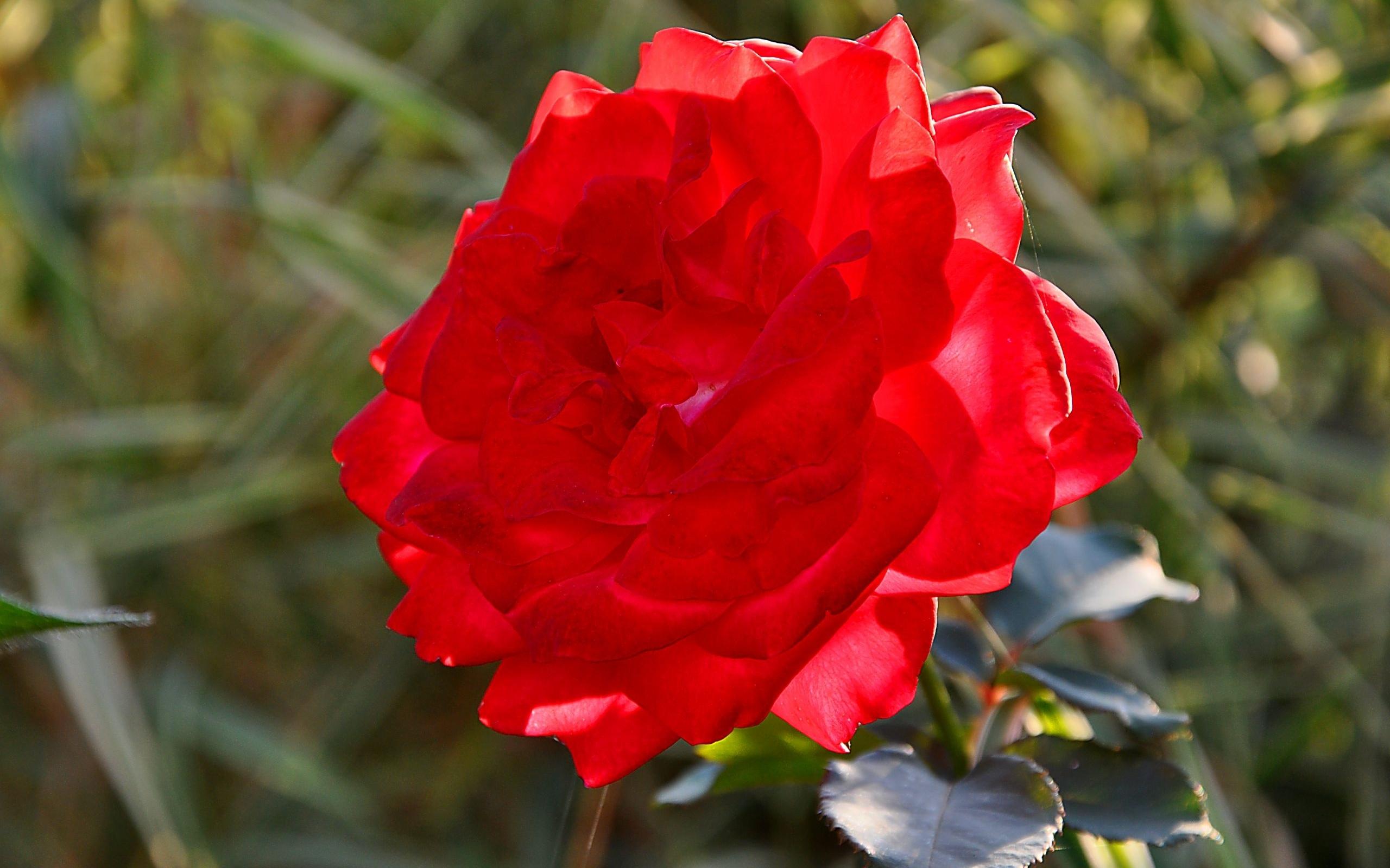 24471 télécharger le fond d'écran Plantes, Fleurs, Roses - économiseurs d'écran et images gratuitement