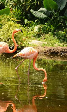 154701 download wallpaper Animals, Flamingo, Couple, Pair, Stroll, Water, Trees screensavers and pictures for free