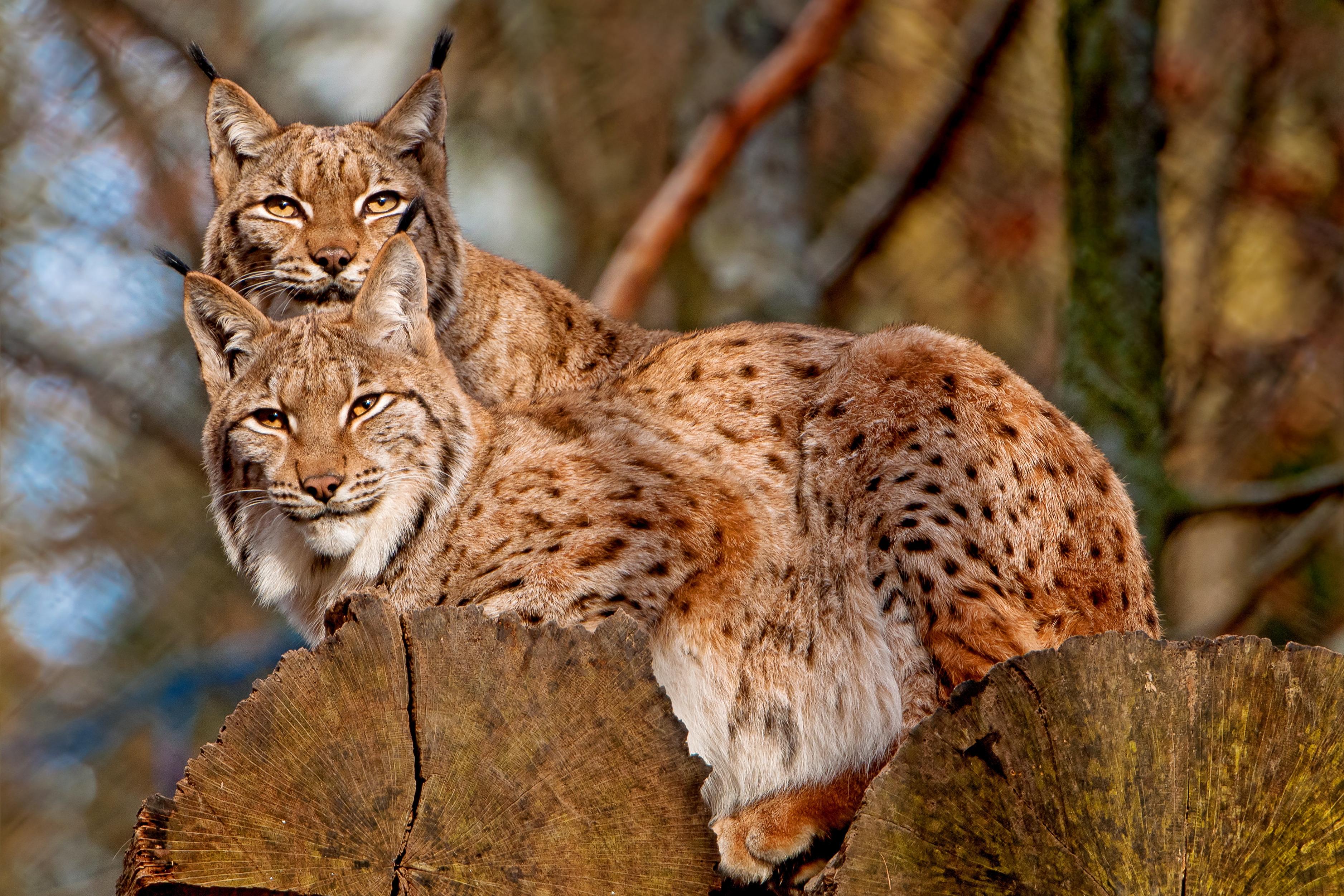 110419 Screensavers and Wallpapers Predators for phone. Download Animals, Predators, Iris, Couple, Pair, Big Cats pictures for free