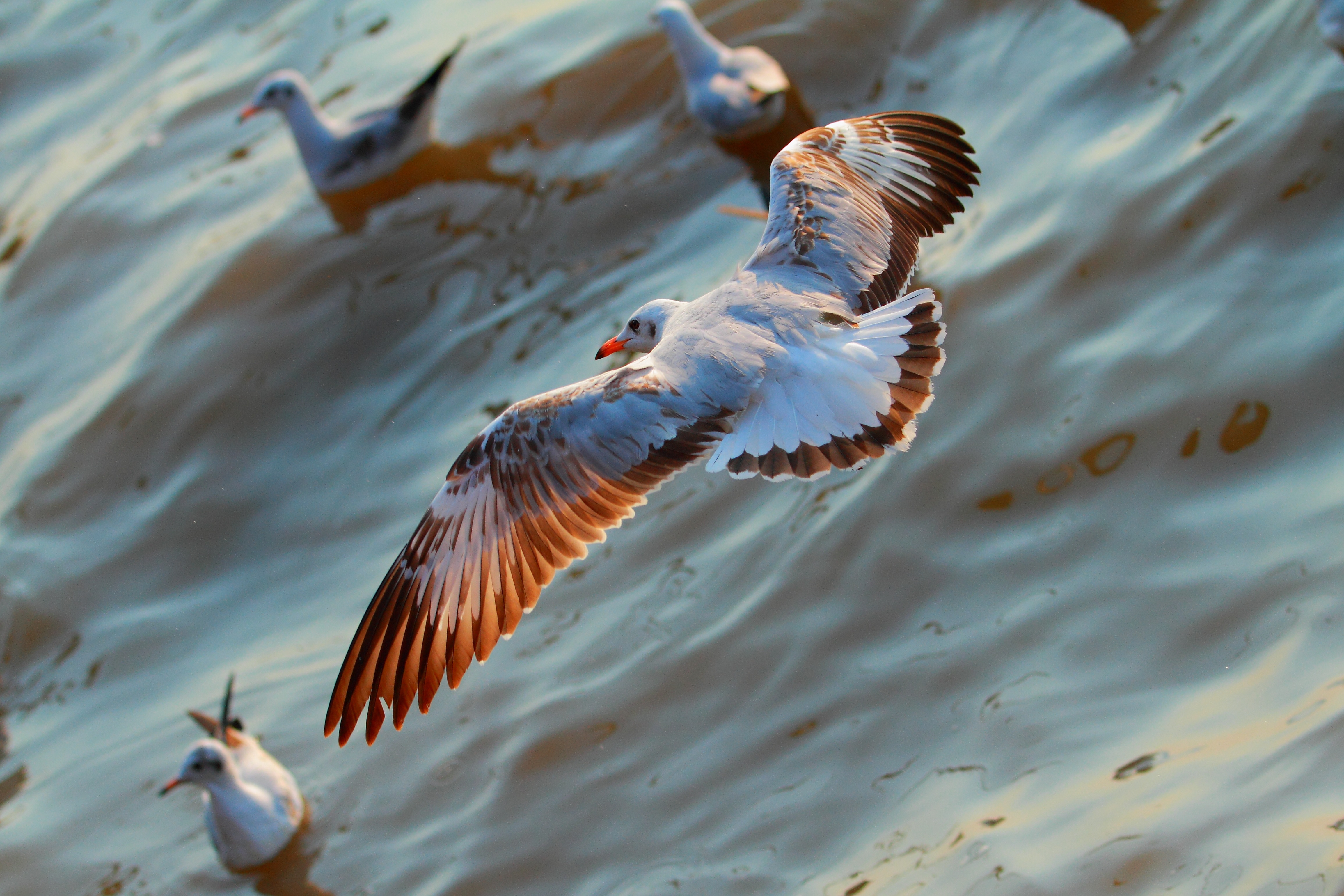 95061 download wallpaper Animals, Flight, Sea, Birds, Seagulls screensavers and pictures for free