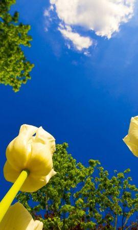 301 скачать обои Растения, Цветы, Небо, Тюльпаны - заставки и картинки бесплатно