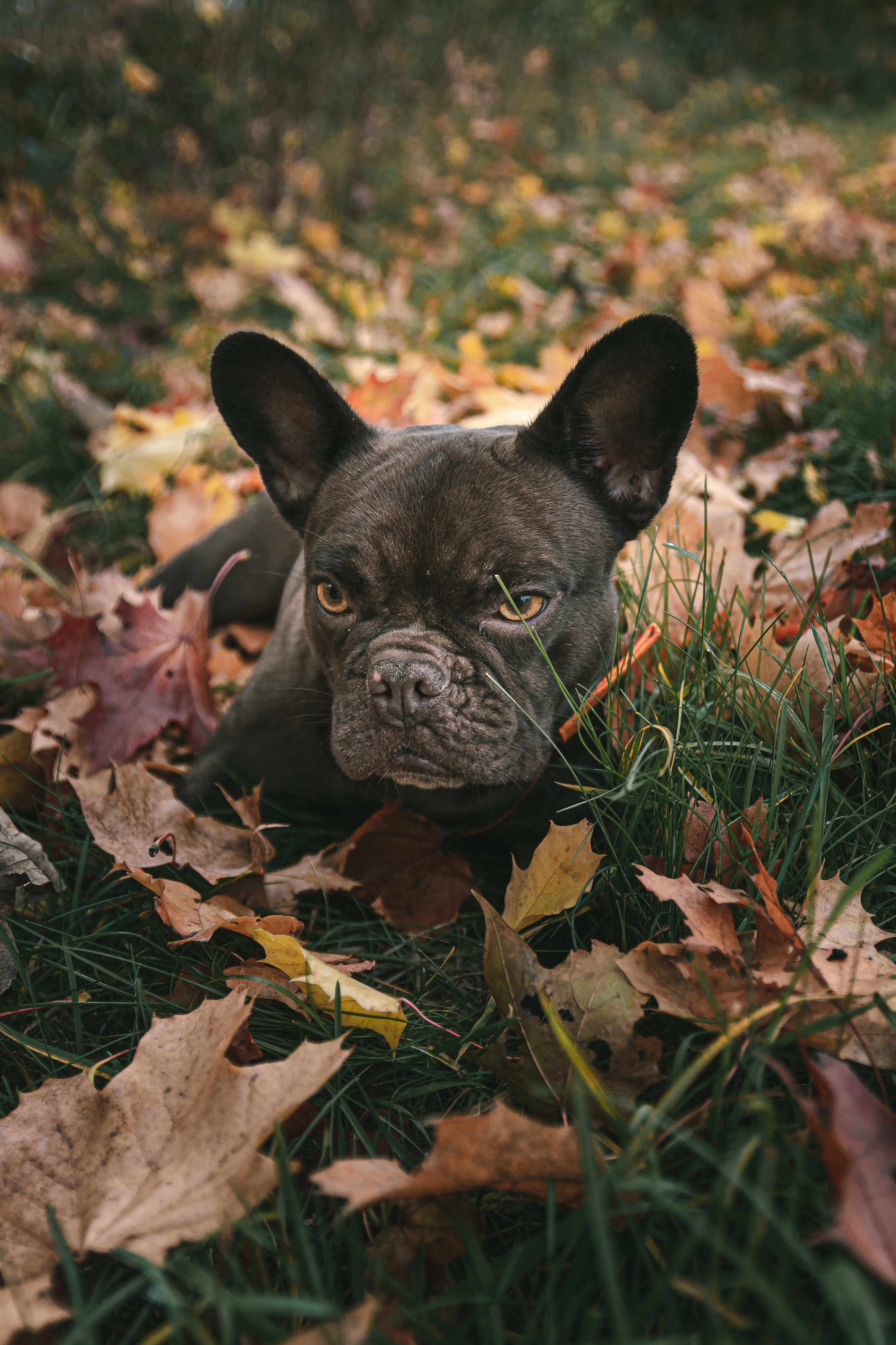 151813 download wallpaper Animals, Pug, Pet, Dog, Grass, Leaves screensavers and pictures for free