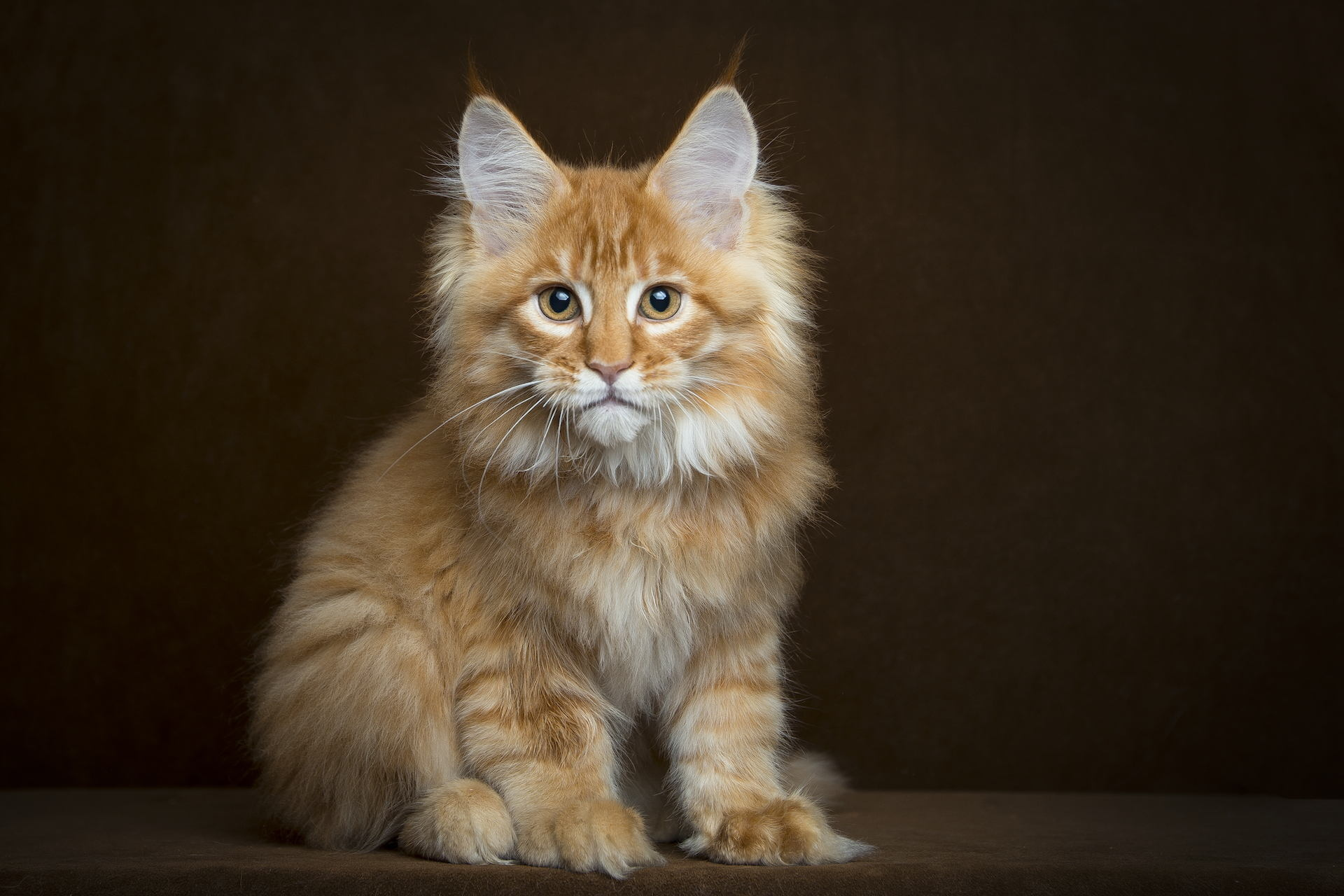 62822 Screensavers and Wallpapers Fluffy for phone. Download Animals, Fluffy, Kitty, Kitten, Sight, Opinion, Maine Coon, Maine pictures for free