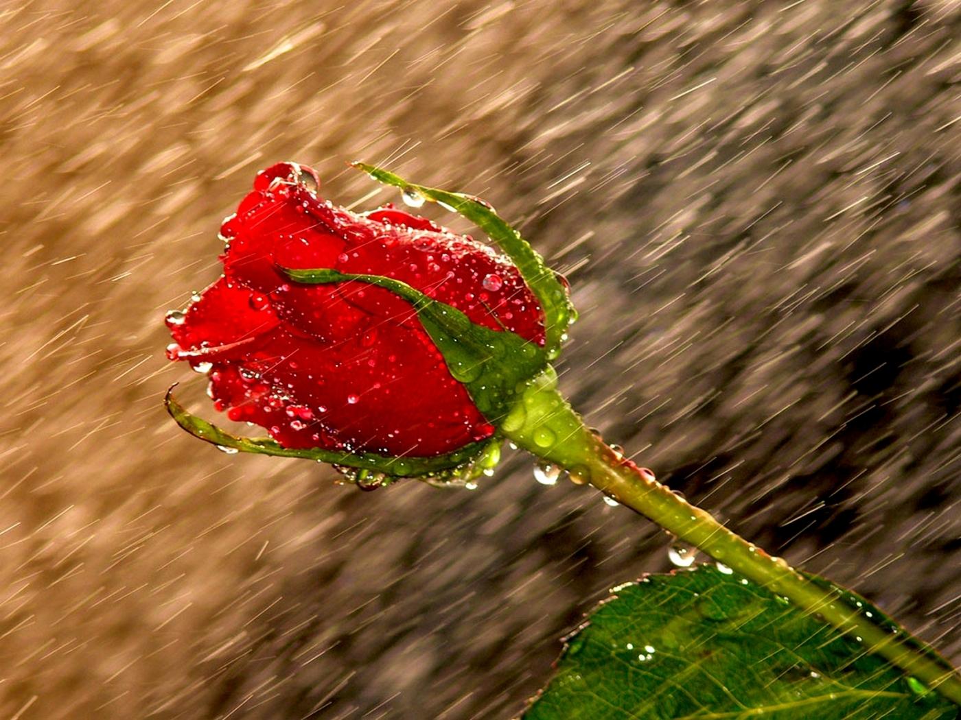 42961 завантажити Помаранчевий шпалери на телефон безкоштовно, Квіти, Рослини, Рози Помаранчевий картинки і заставки на мобільний