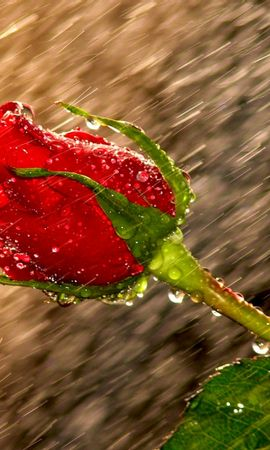 42961 download wallpaper Plants, Flowers, Roses screensavers and pictures for free