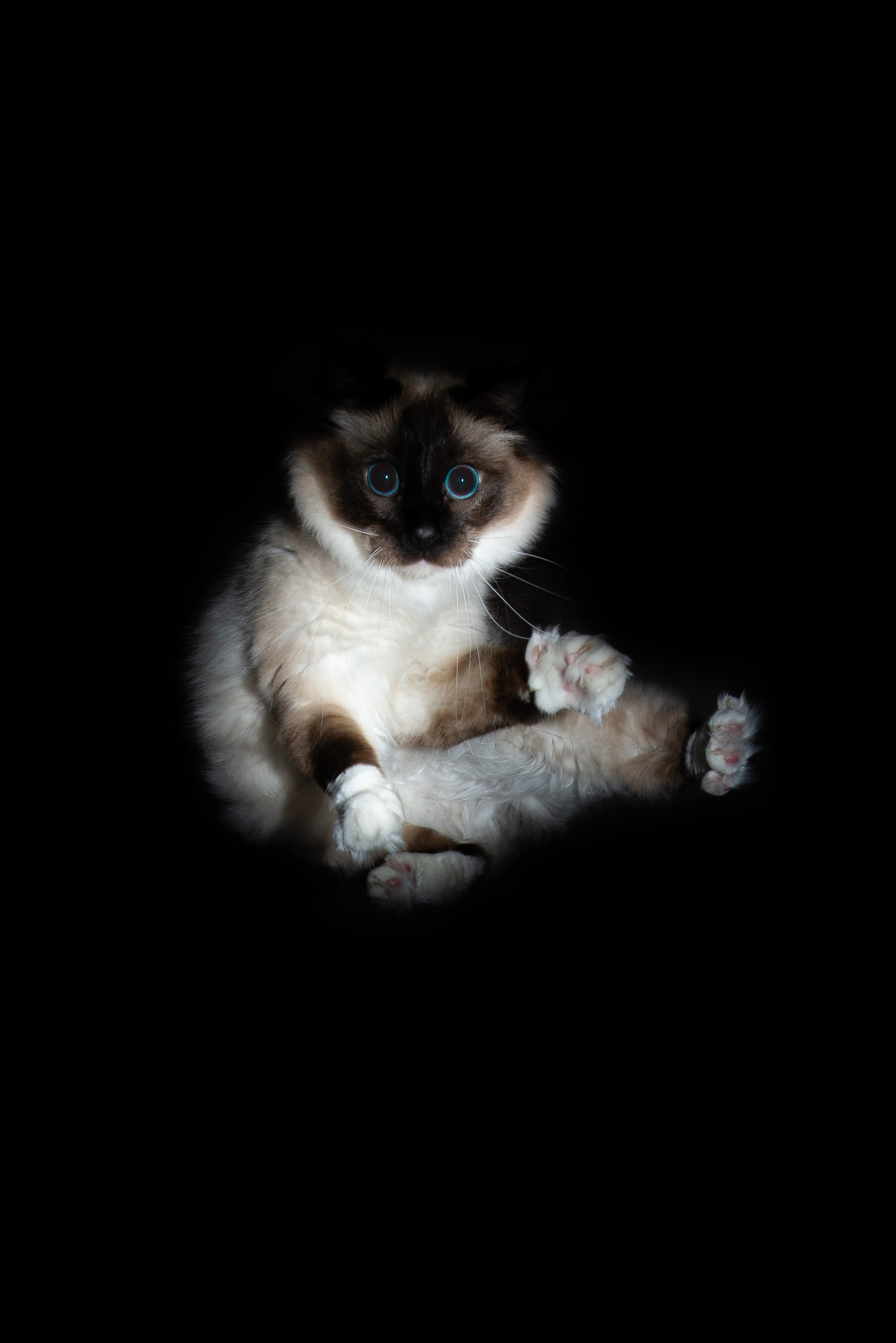106086 download wallpaper Animals, Cat, Siamese, Sight, Opinion, Funny, Pet screensavers and pictures for free