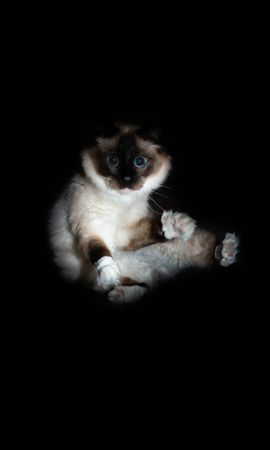 106086 Screensavers and Wallpapers Funny for phone. Download Animals, Cat, Siamese, Sight, Opinion, Funny, Pet pictures for free