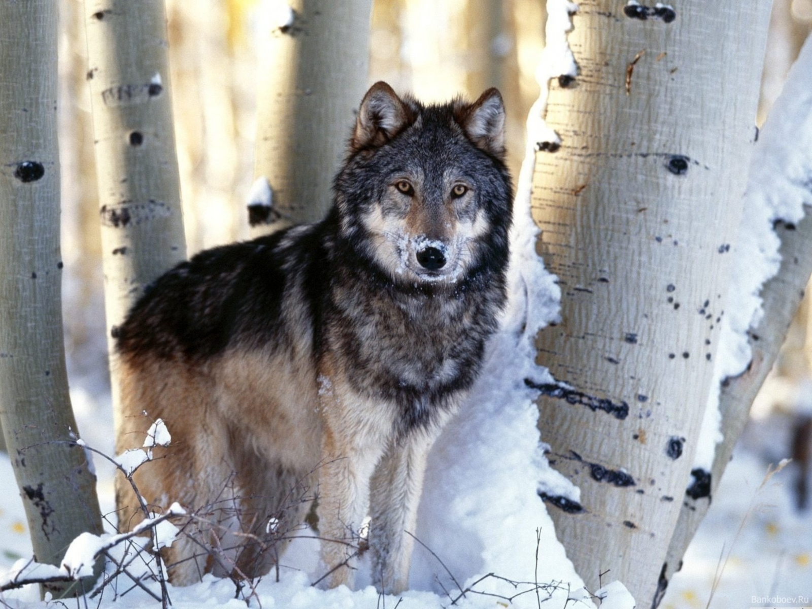 6421 скачать обои Животные, Волки, Снег - заставки и картинки бесплатно