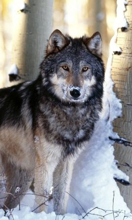 6421 download wallpaper Animals, Wolfs, Snow screensavers and pictures for free