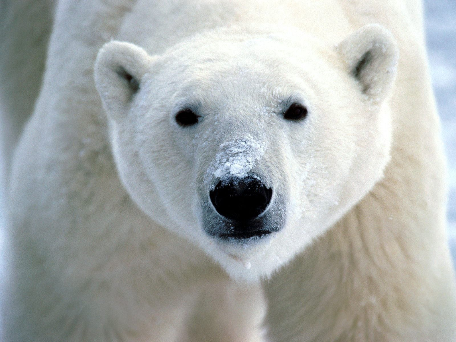 126165 Screensavers and Wallpapers Nose for phone. Download Animals, Sight, Opinion, Nose, Polar Bear pictures for free