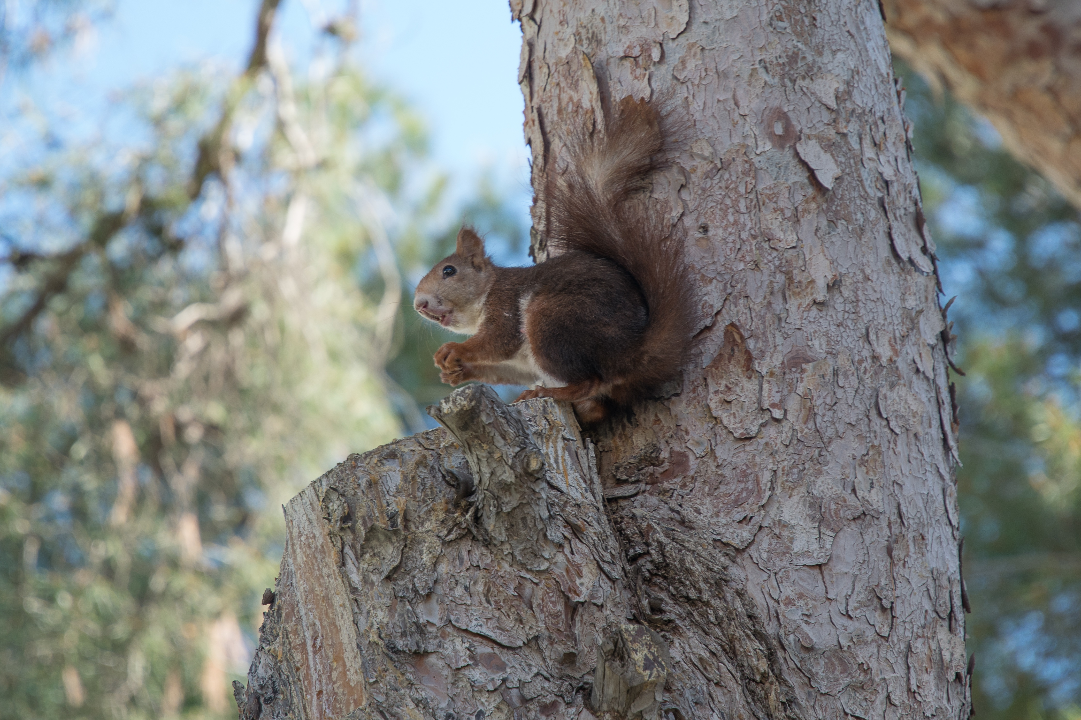 92312 download wallpaper Animals, Squirrel, Wood, Tree, Rodent screensavers and pictures for free