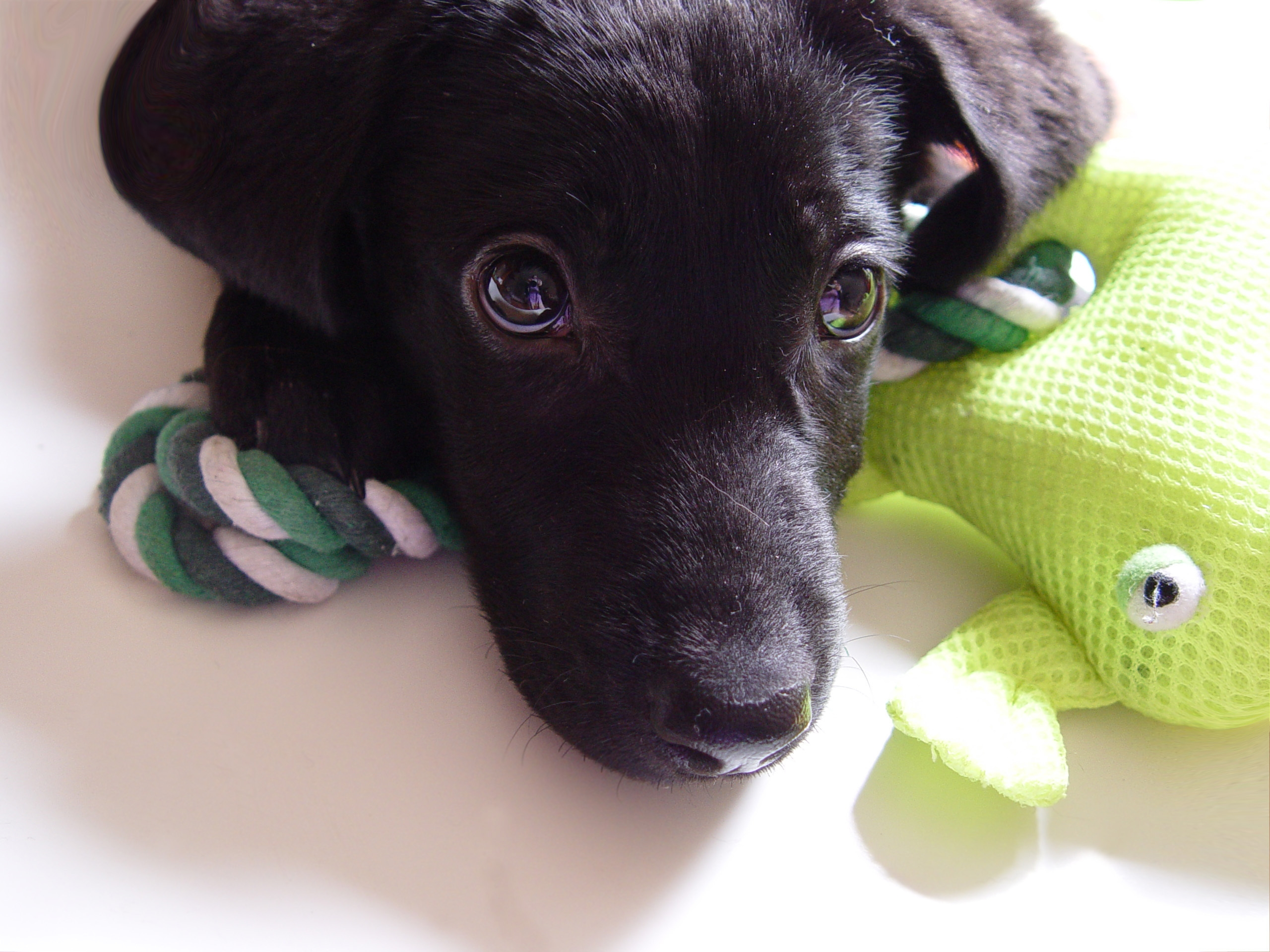 124109 download wallpaper Animals, Dog, Puppy, Labrador, Muzzle, Sight, Opinion screensavers and pictures for free