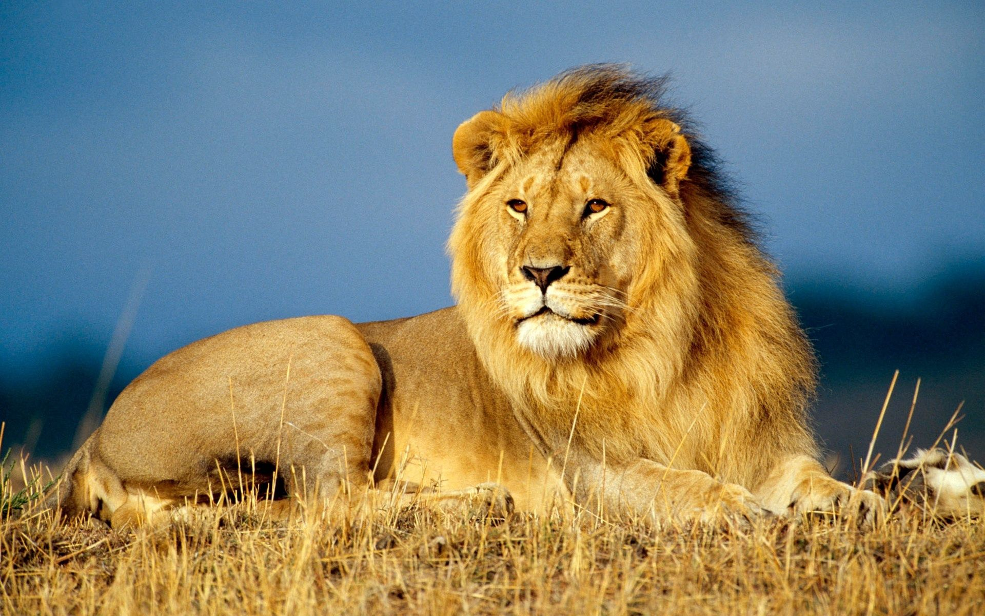 96819 download wallpaper Animals, Lion, King Of Beasts, King Of The Beasts, To Lie Down, Lie, Sight, Opinion, Mane screensavers and pictures for free