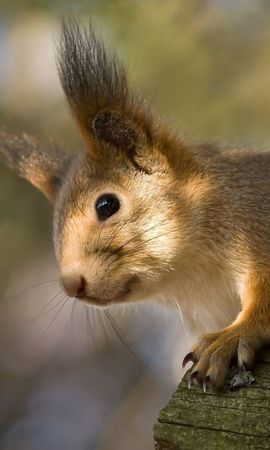 87170 download wallpaper Animals, Redhead, Squirrel, Ears, Funny screensavers and pictures for free