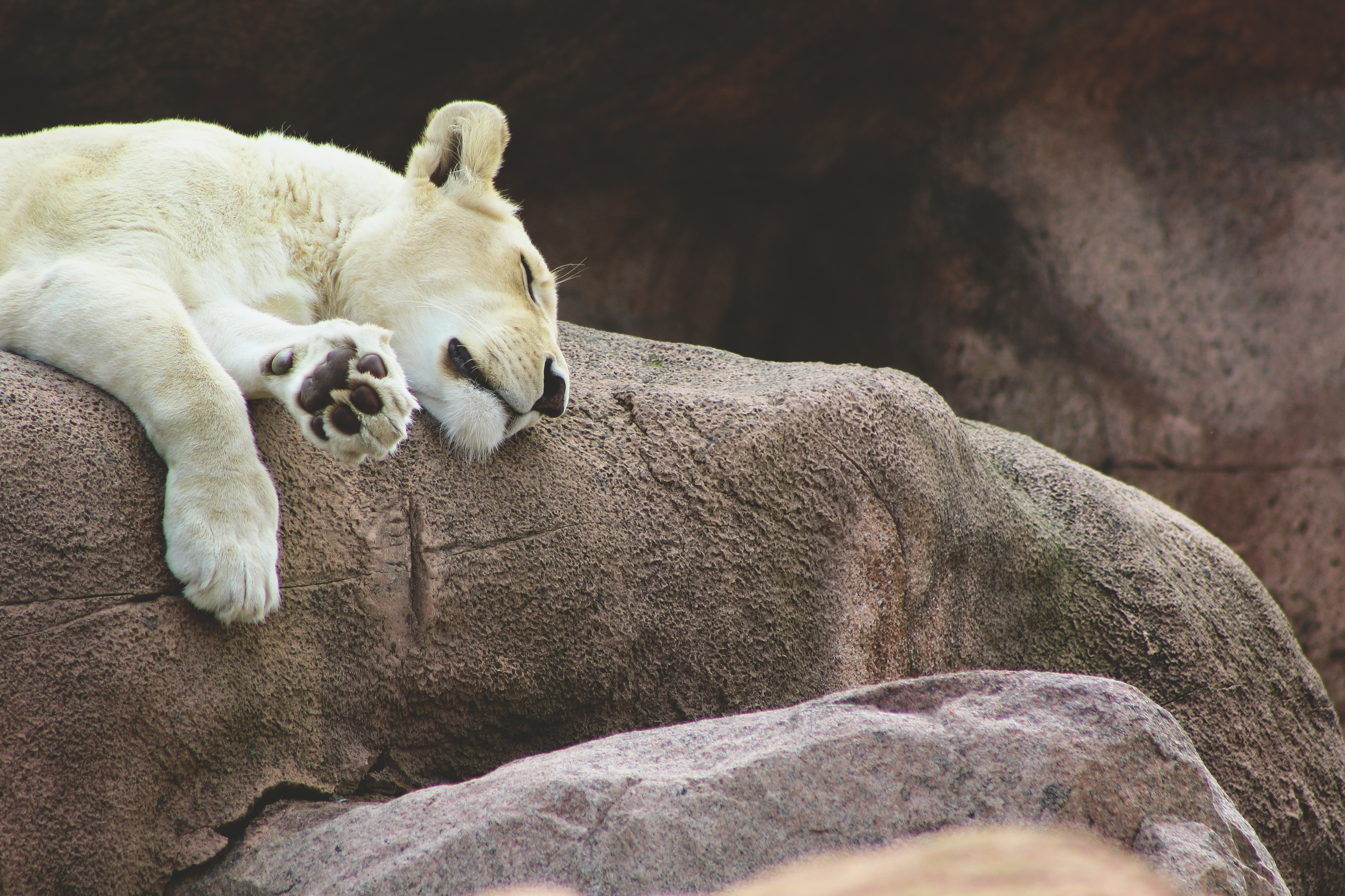 131304 download wallpaper Animals, Lioness, Predator, Asleep, Sleeps screensavers and pictures for free