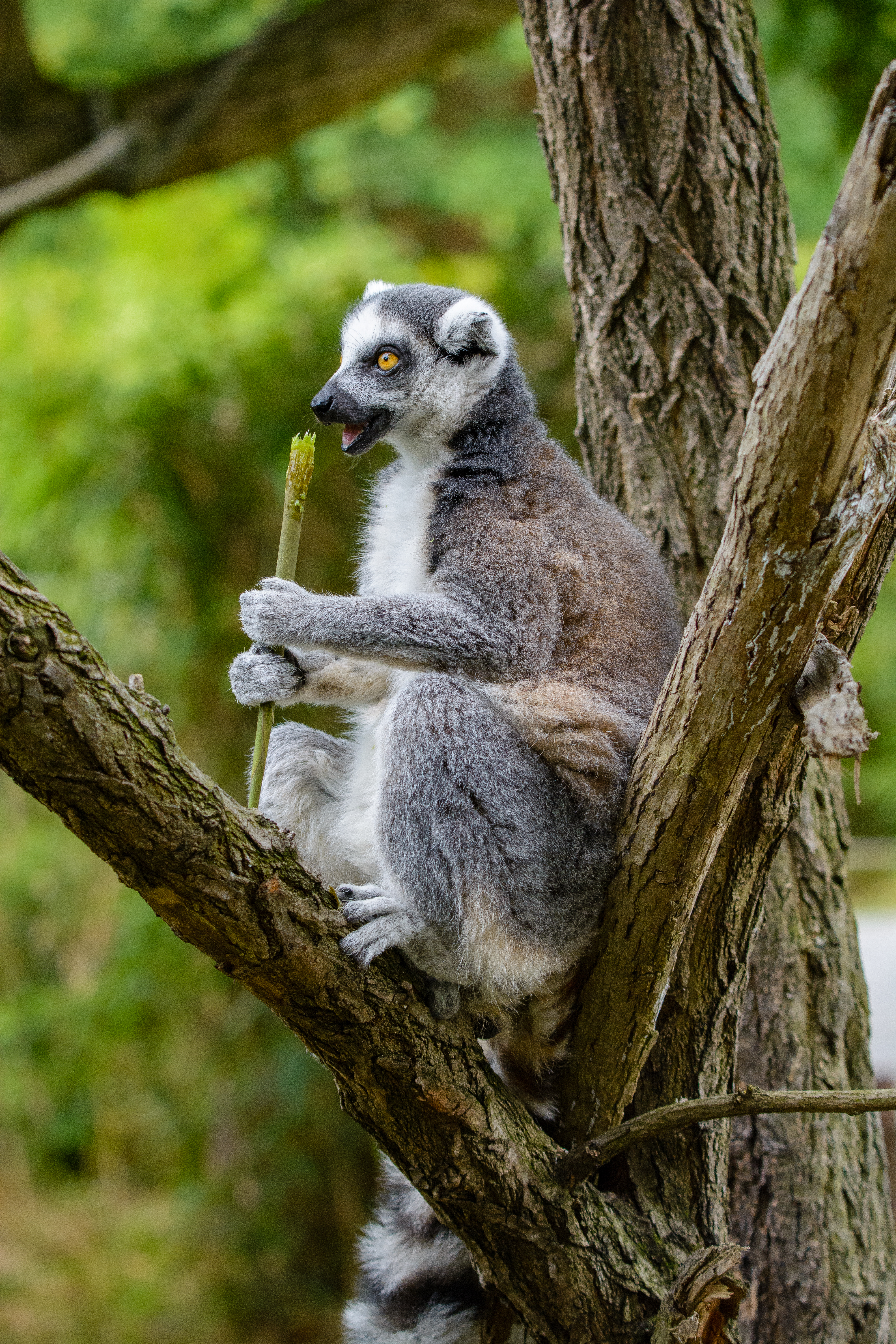 95142 download wallpaper Animals, Lemur, Wood, Tree, Snack, Relaxation, Rest, Food screensavers and pictures for free