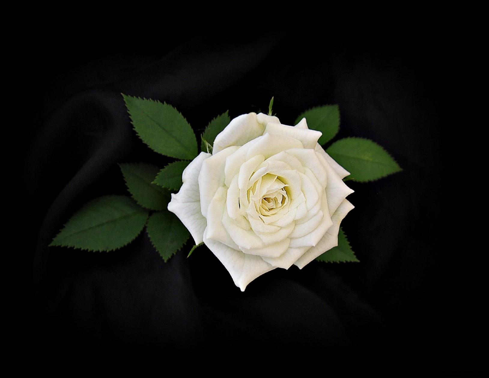 150280 Hintergrundbild herunterladen Schwarzer Hintergrund, Blumen, Blätter, Blume, Rose - Bildschirmschoner und Bilder kostenlos