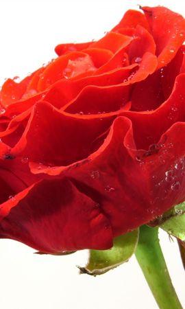 20880 baixar papel de parede Plantas, Flores, Rosas - protetores de tela e imagens gratuitamente