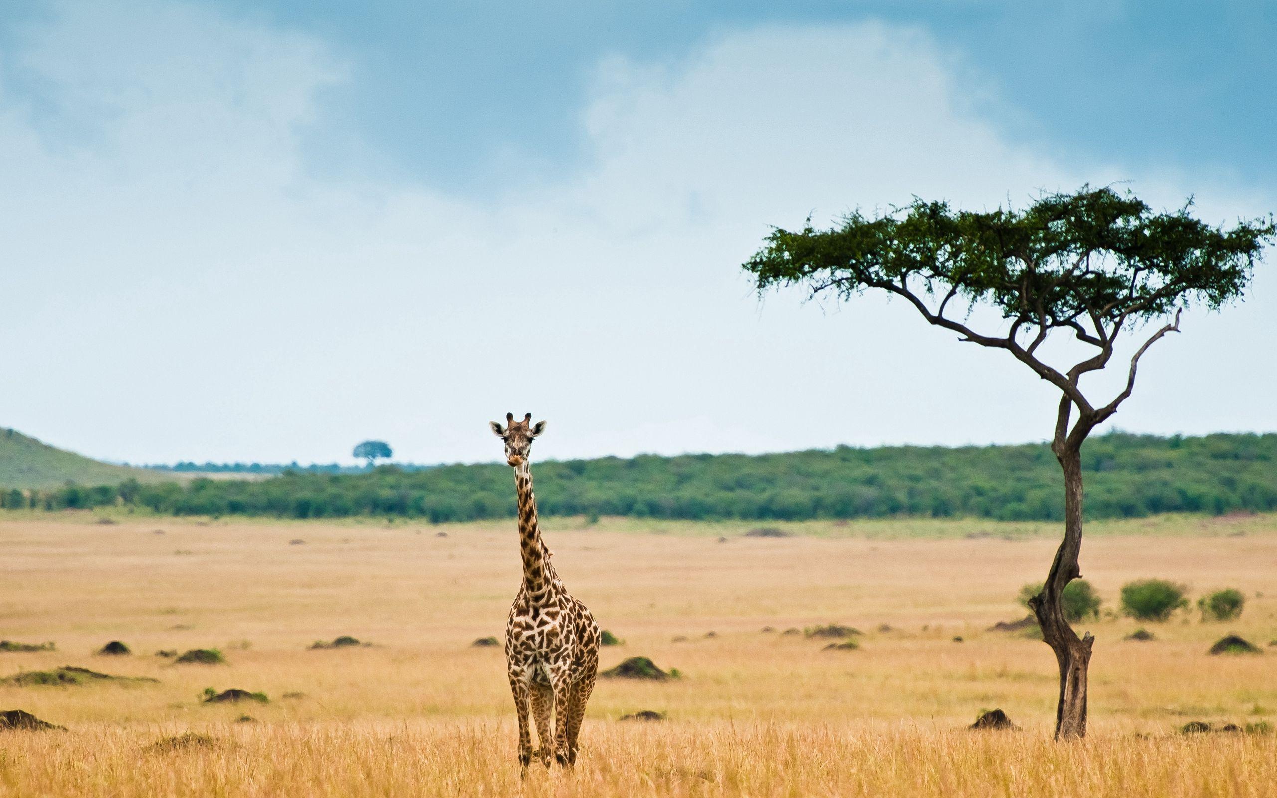 147423 免費下載壁紙 动物, 长颈鹿, 稀树草原, 木头, 沙漠 屏保和圖片