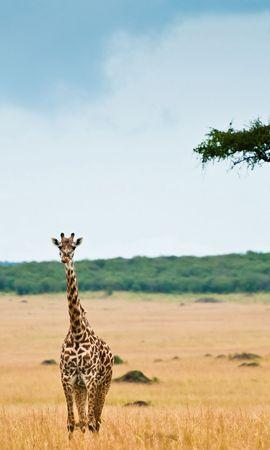 147423 скачать обои Животные, Жираф, Саванна, Дерево, Пустыня - заставки и картинки бесплатно