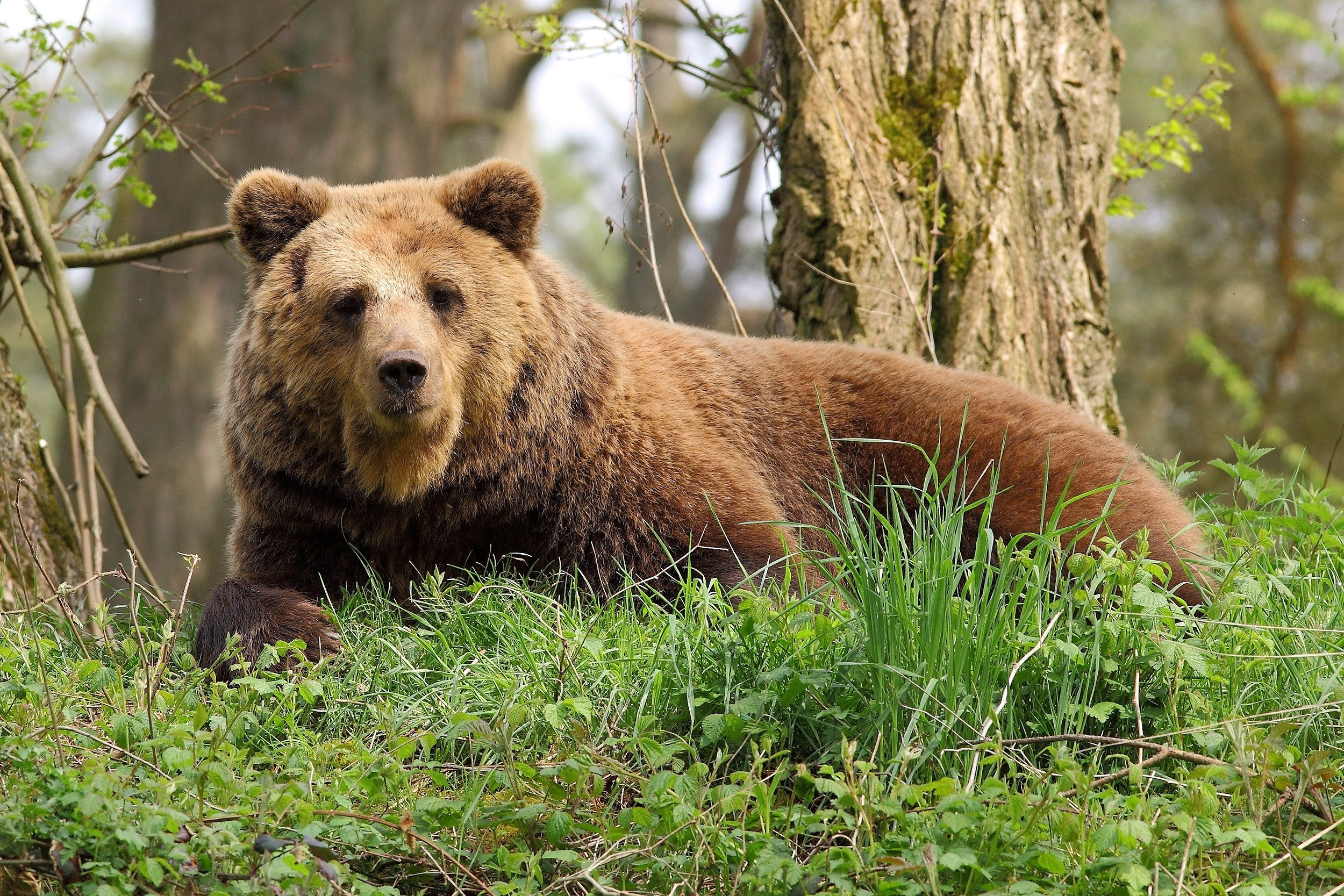 97711 Screensavers and Wallpapers Bear for phone. Download Animals, Grass, Forest, To Lie Down, Lie, Bear pictures for free