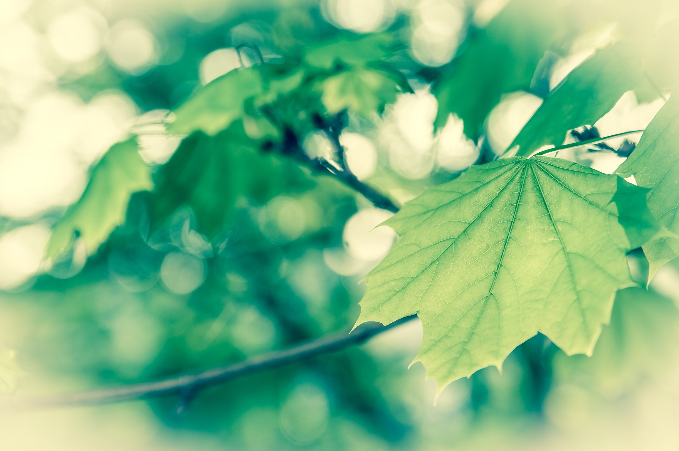 129488 download wallpaper Macro, Leaves, Maple, Branch, Form screensavers and pictures for free