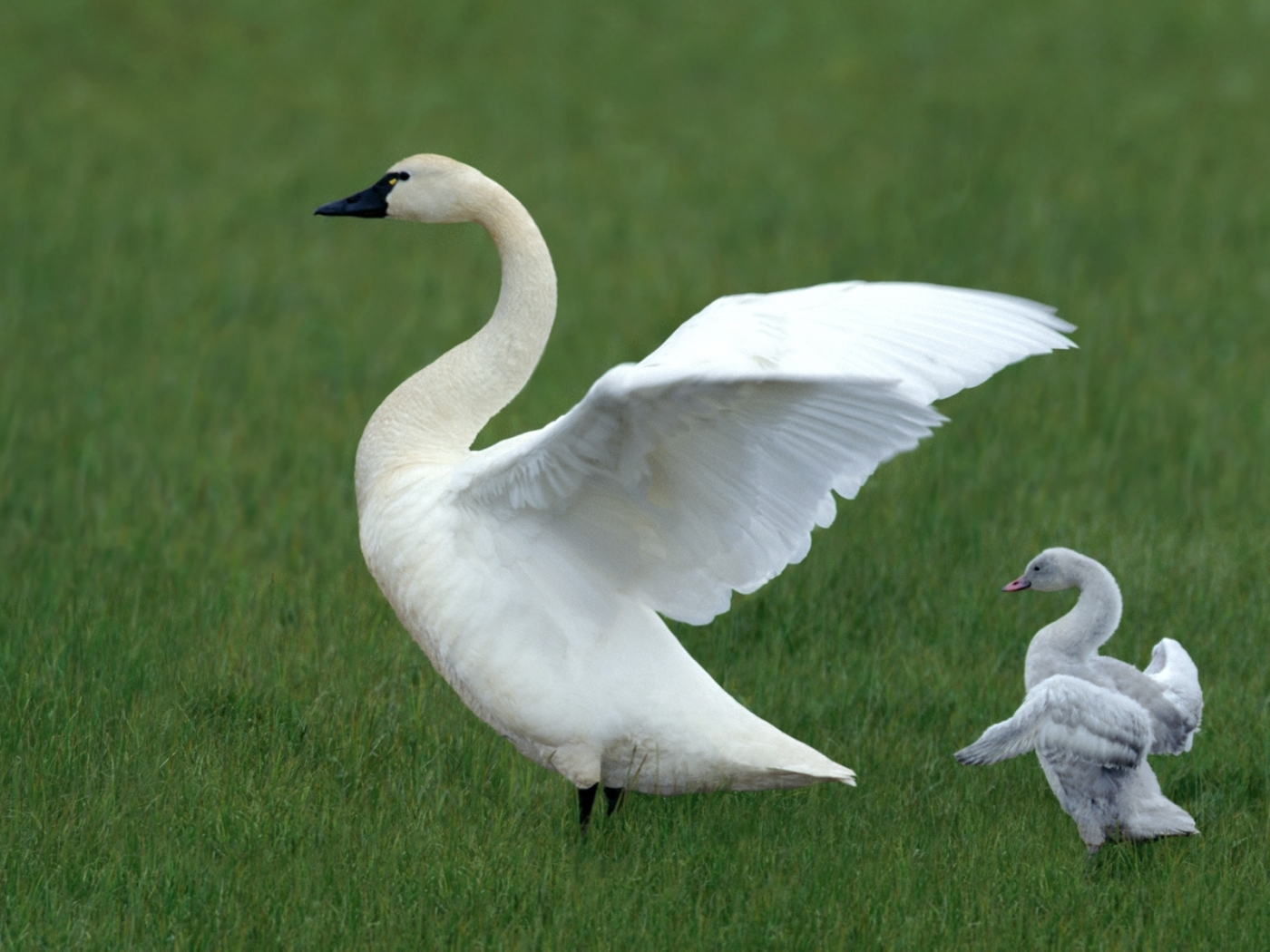 40579 download wallpaper Animals, Birds, Swans screensavers and pictures for free
