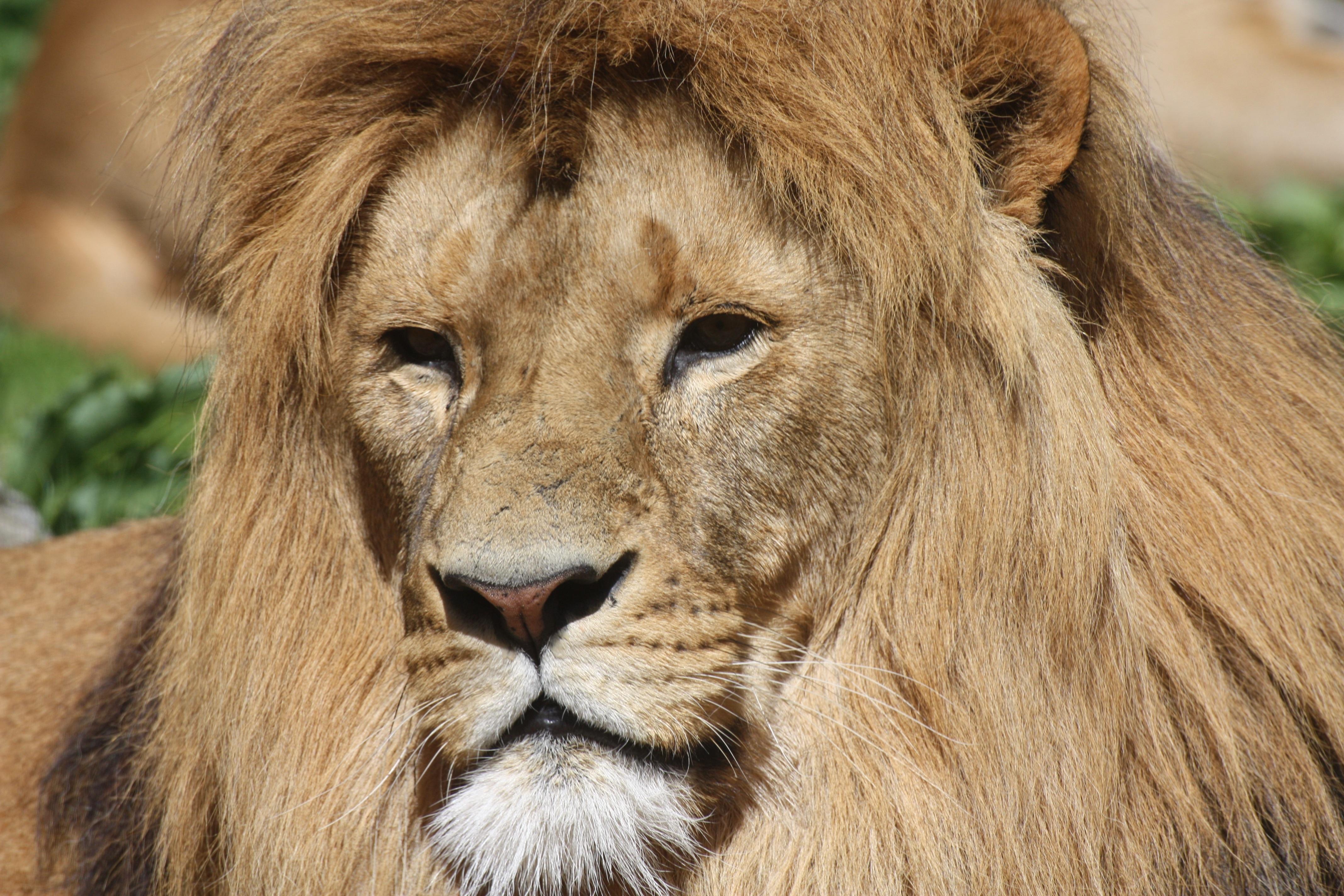 109414 économiseurs d'écran et fonds d'écran Gros Chat sur votre téléphone. Téléchargez Animaux, Un Lion, Lion, Prédateur, Gros Chat, Fauve, Crinière images gratuitement