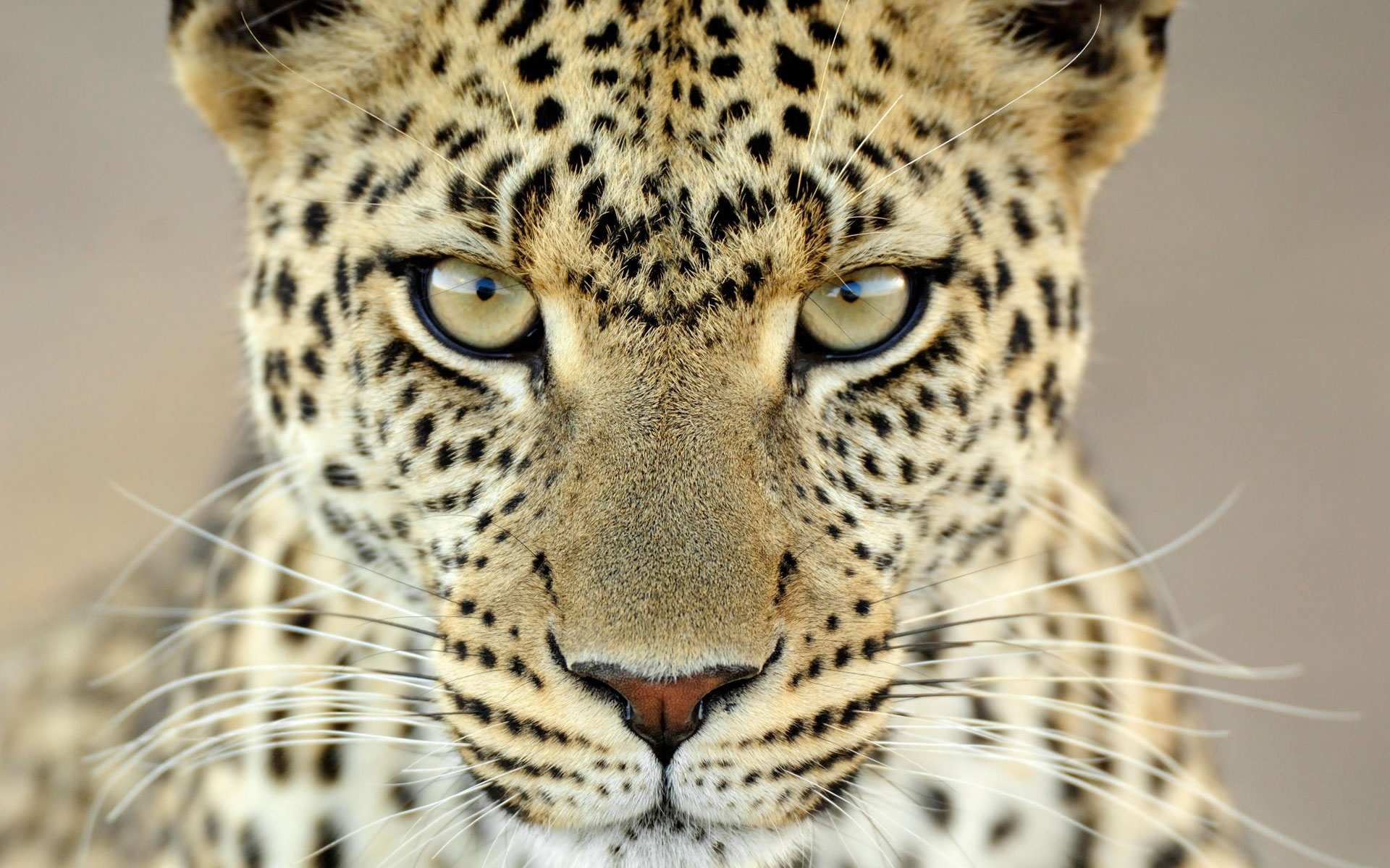 15923 download wallpaper Animals, Leopards screensavers and pictures for free