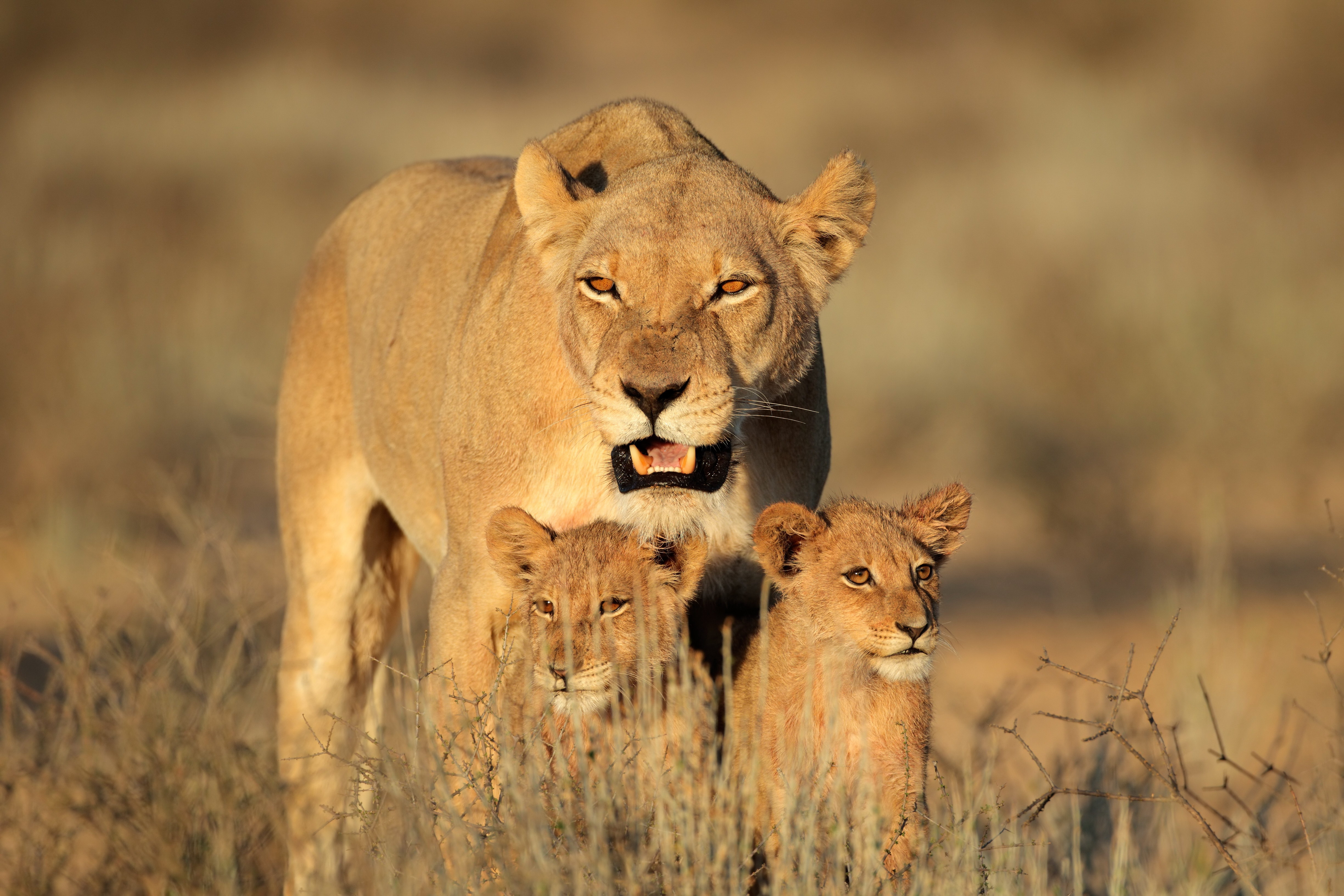 60678 Screensavers and Wallpapers Predators for phone. Download Animals, Predators, Lion, Family, Africa, Female, Lion Cubs pictures for free