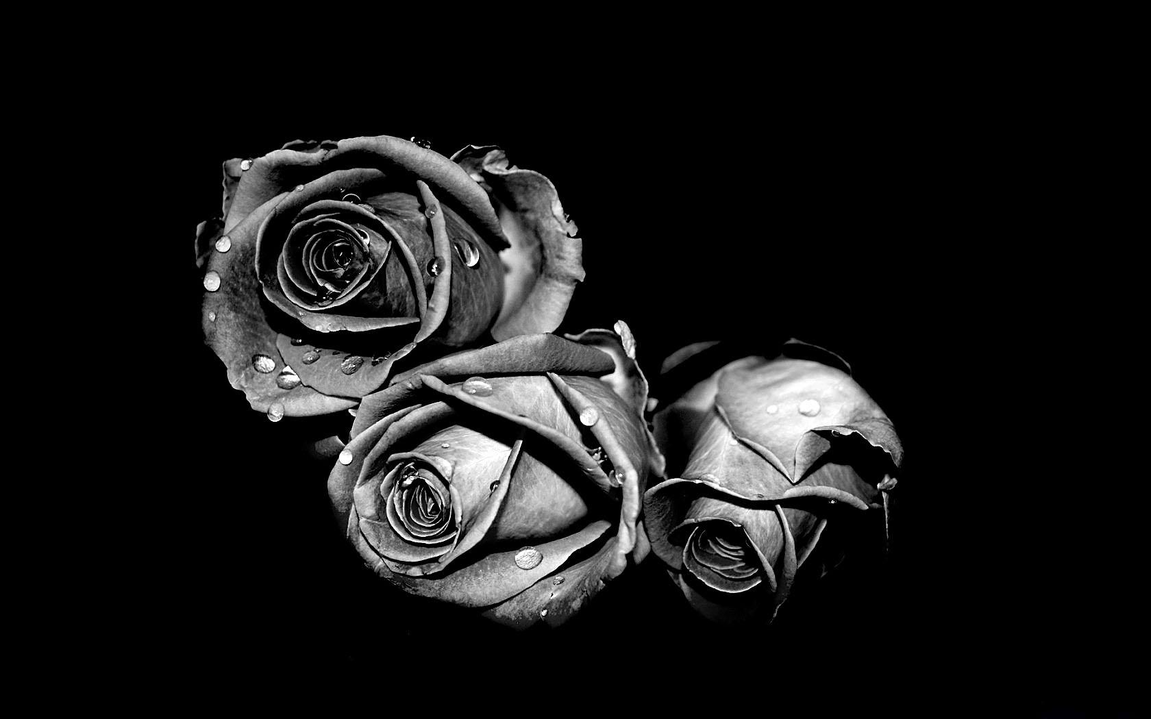 37570 скачать обои Растения, Цветы, Розы - заставки и картинки бесплатно