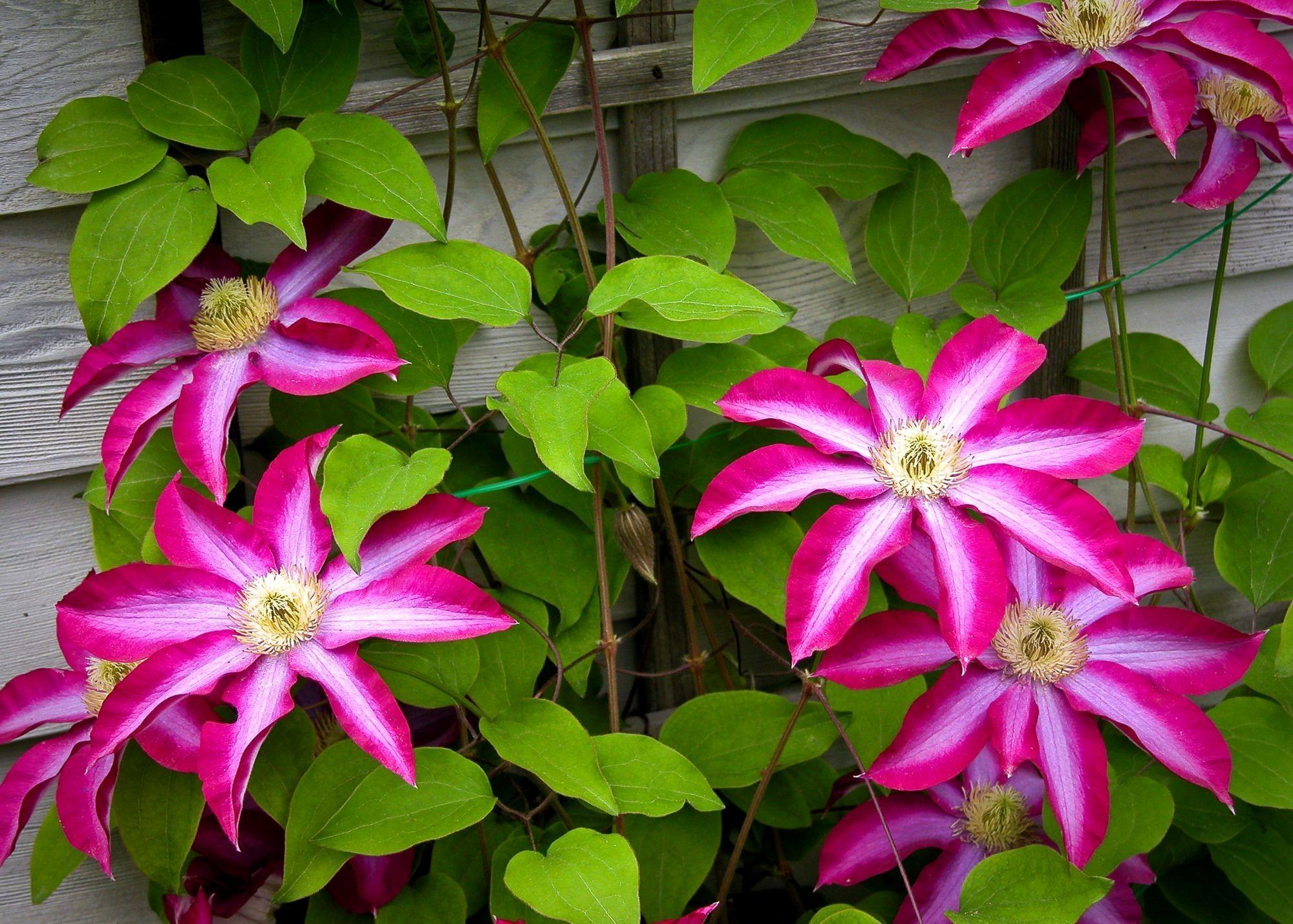 54826 Hintergrundbild herunterladen Blumen, Blätter, Bindweed, Blühen, Blühenden, Wand, Klematis, Clematis - Bildschirmschoner und Bilder kostenlos