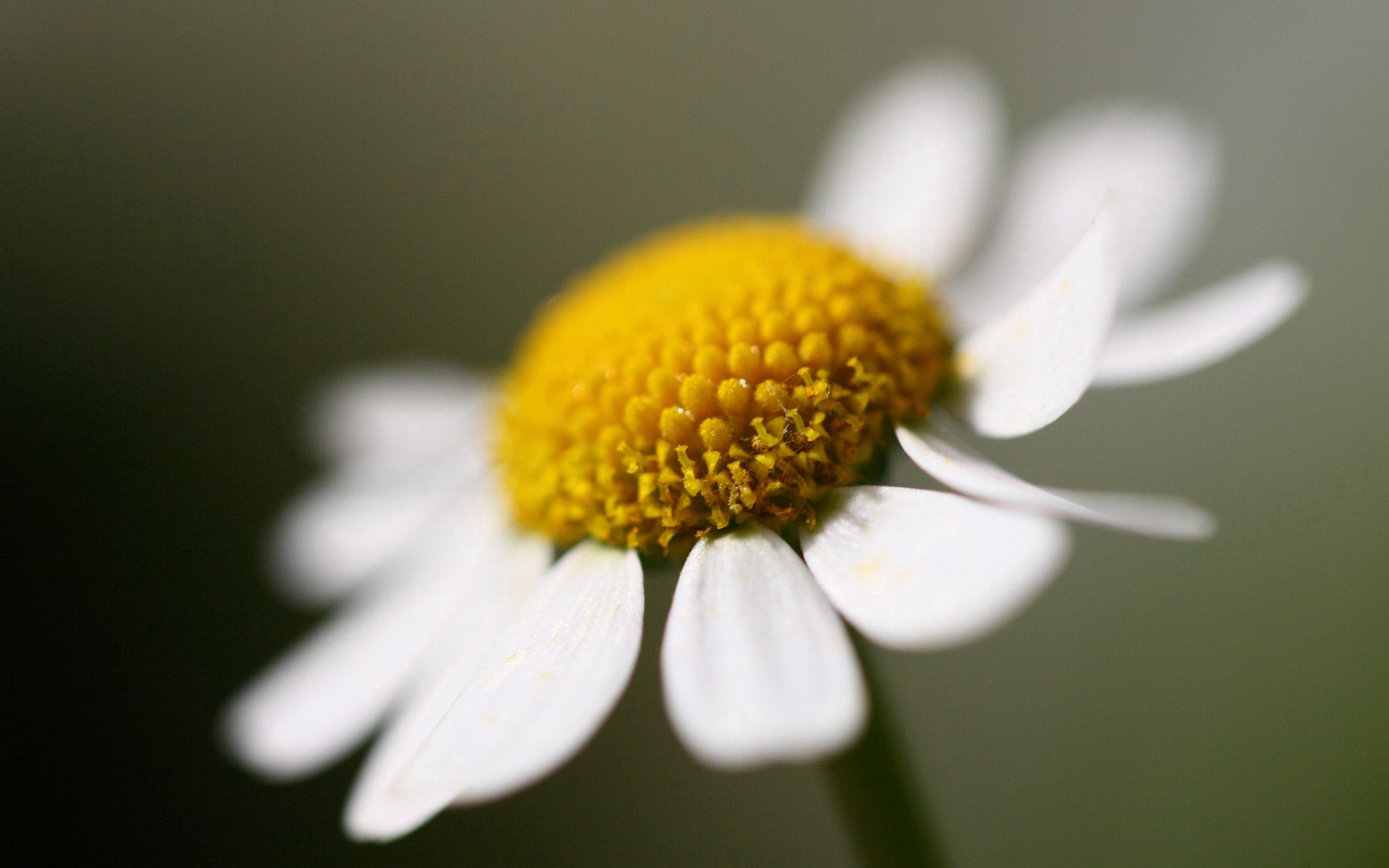 152359 download wallpaper Macro, Chamomile, Camomile, Petals, Flower screensavers and pictures for free