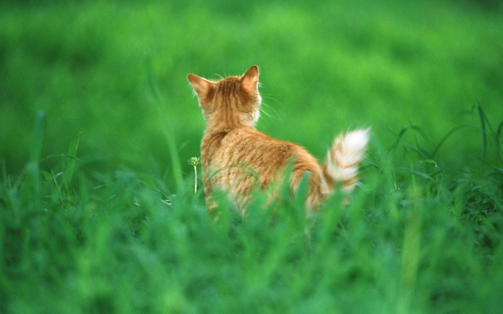 73444 download wallpaper Animals, Cat, Redhead, Grass, Tail screensavers and pictures for free