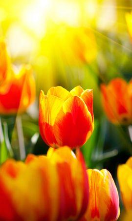 27752 télécharger le fond d'écran Fleurs, Contexte, Tulipes - économiseurs d'écran et images gratuitement