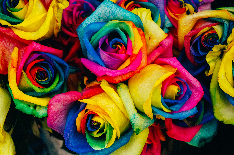 121345 Hintergrundbild herunterladen Motley, Blumen, Roses, Regenbogen, Mehrfarbig, Schillernden - Bildschirmschoner und Bilder kostenlos