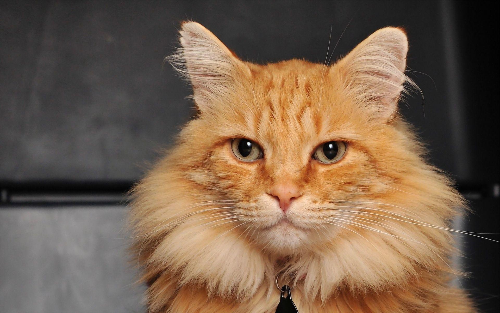 89872 Hintergrundbild herunterladen Katze, Tiere, Der Kater, Flauschige, Schnauze - Bildschirmschoner und Bilder kostenlos