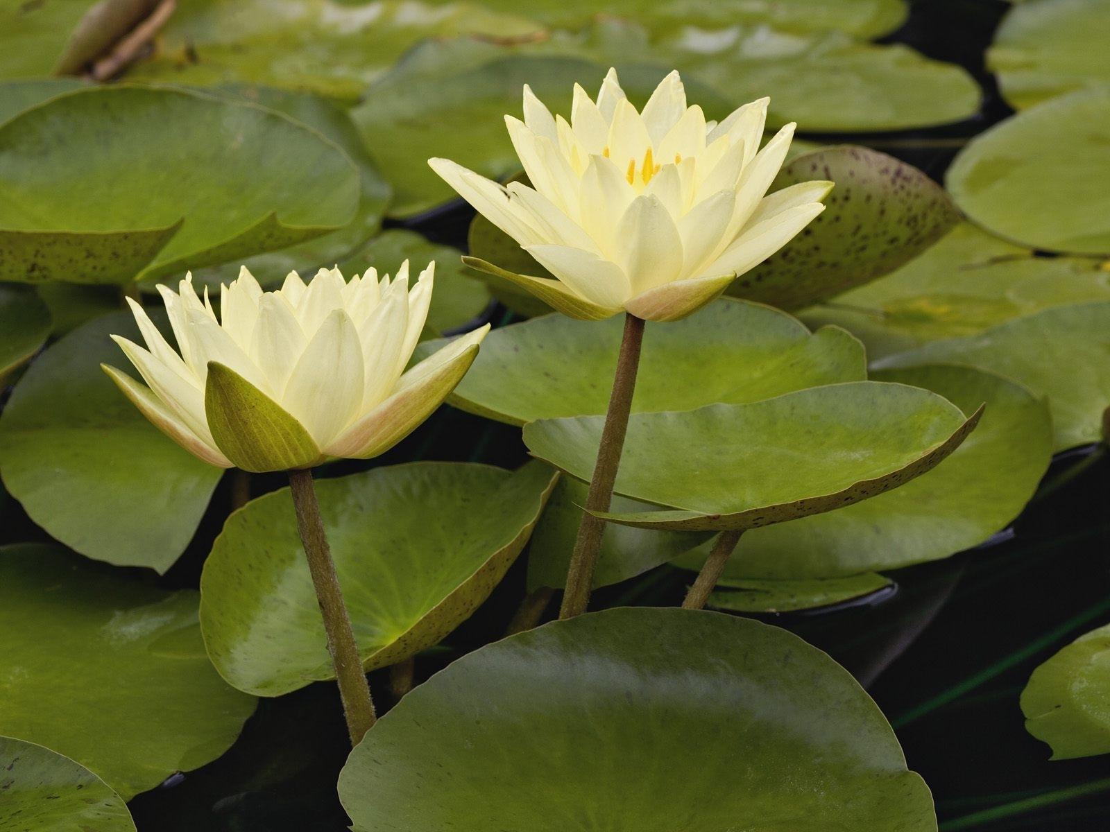 4344 скачать обои Растения, Цветы - заставки и картинки бесплатно