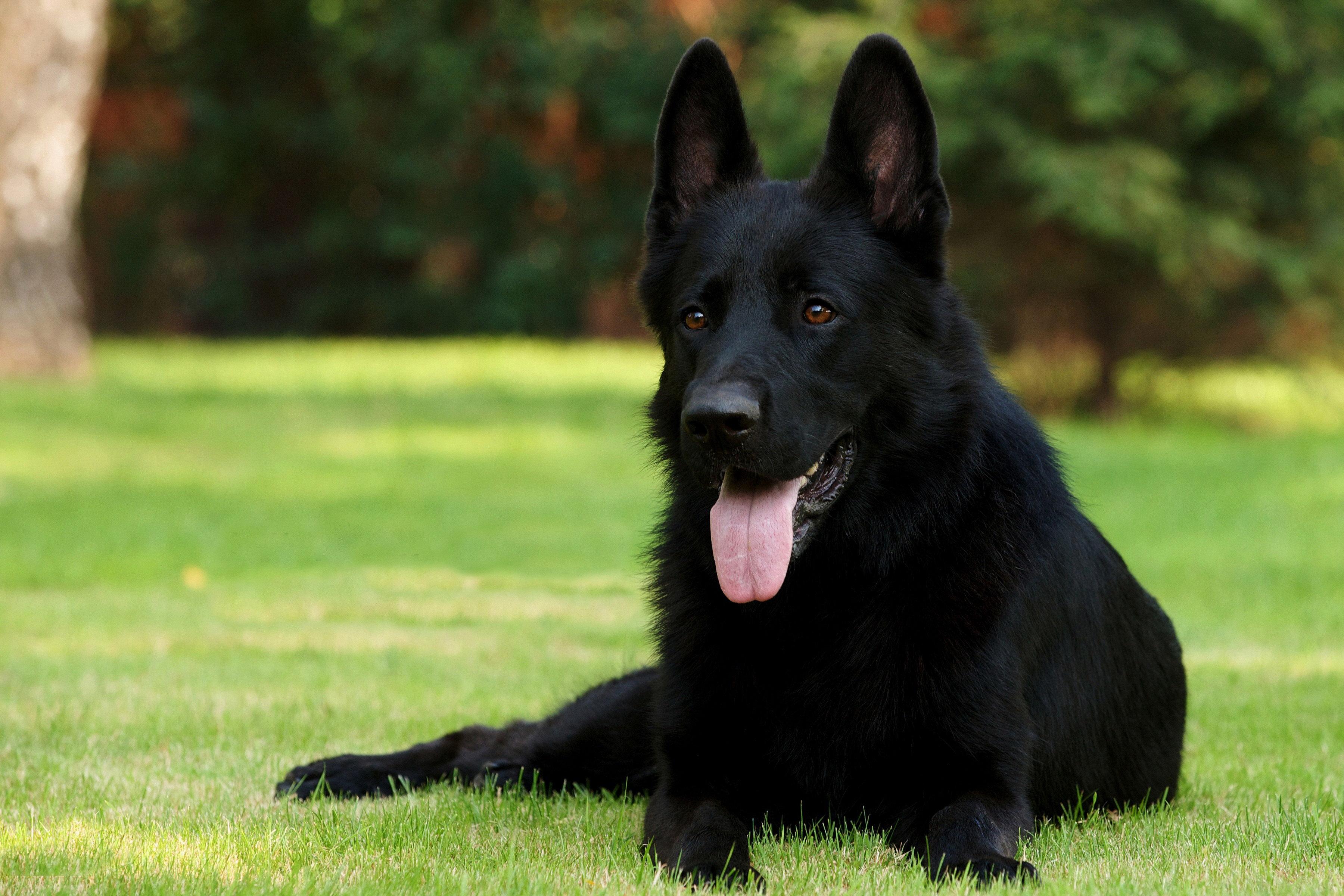 146890 download wallpaper Animals, Grass, Sit, Dog, German Shepherd, Exclusive, Black Shepherd, Black Sheepdog screensavers and pictures for free