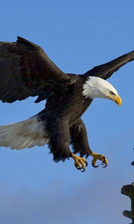 6971 baixar papel de parede Animais, Aves, Eagles - protetores de tela e imagens gratuitamente