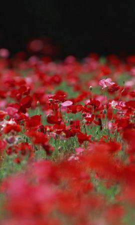 109 скачать обои Растения, Цветы, Маки - заставки и картинки бесплатно