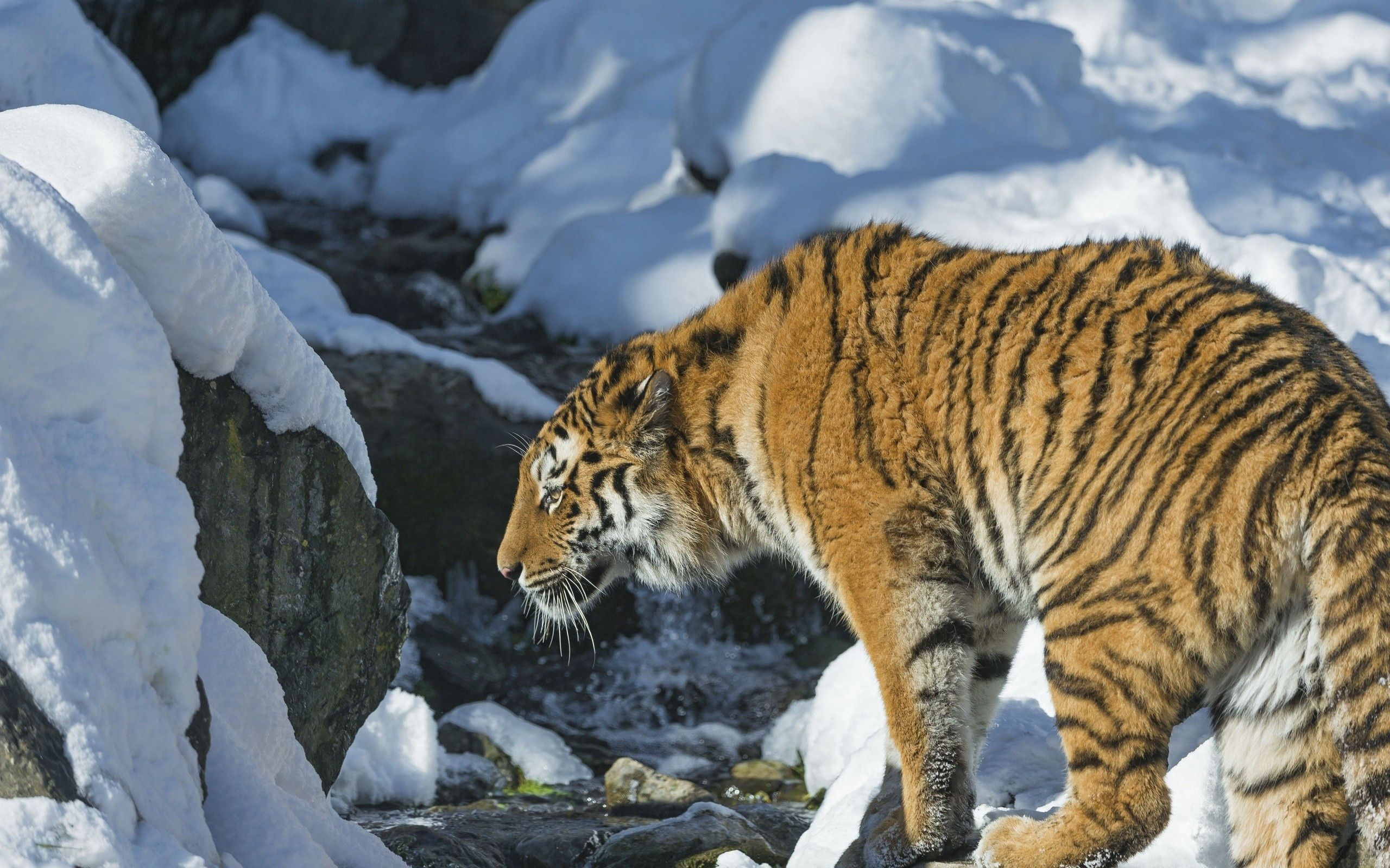 151891 download wallpaper Animals, Tiger, Snow, Predator screensavers and pictures for free