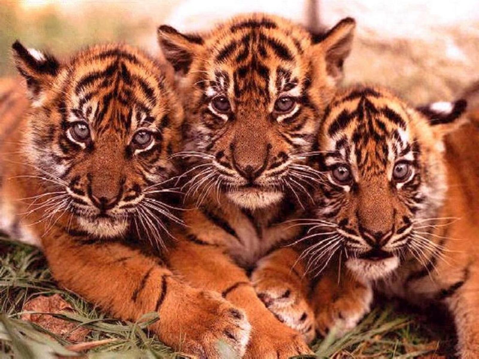 14272 скачать обои Животные, Тигры - заставки и картинки бесплатно
