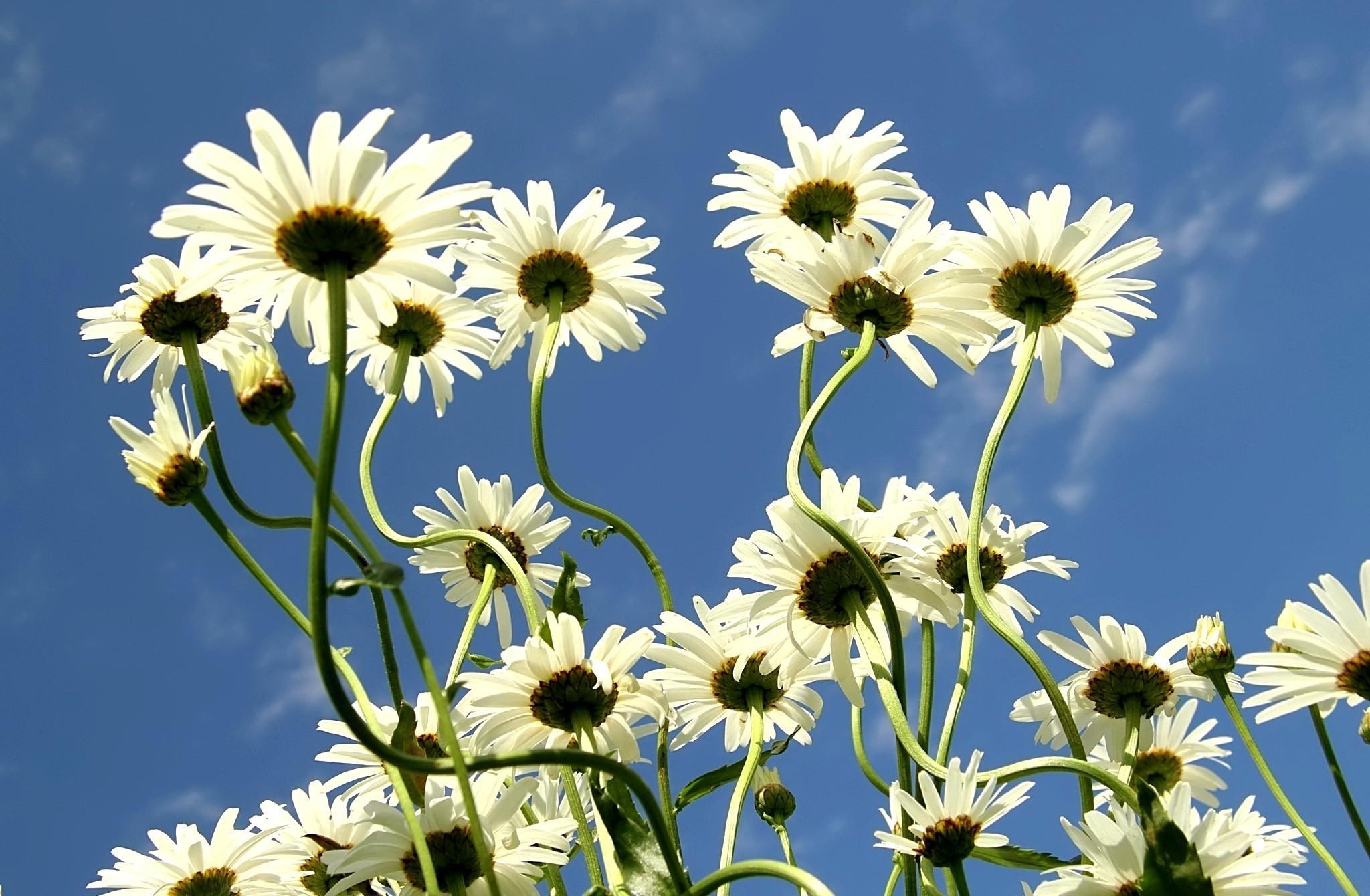 92824 скачать обои Цветы, Ромашки, Лето, Небо, Облака - заставки и картинки бесплатно