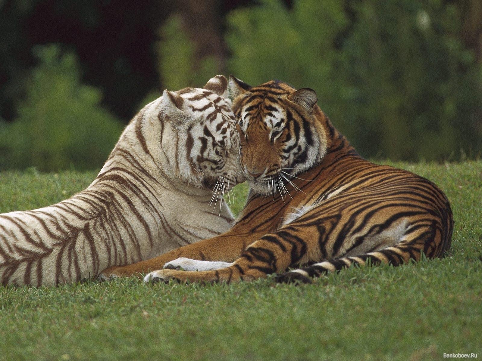 2358 скачать обои Животные, Тигры - заставки и картинки бесплатно